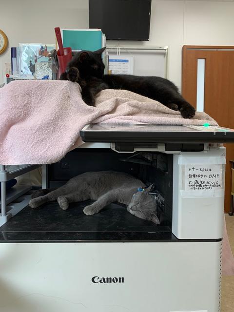 コピー機で寝る猫ちゃん達